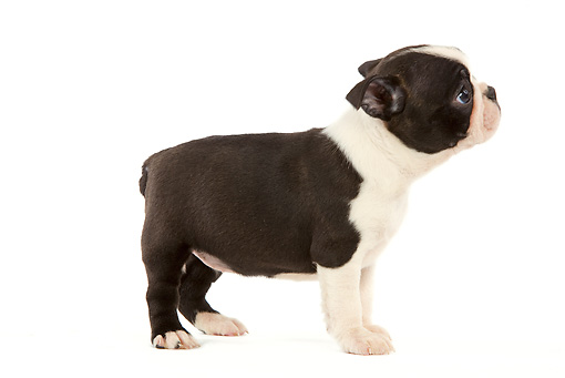 PUP 14 JE0011 01 © Kimball Stock Boston Terrier Puppy Standing On White Seamless