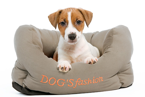 PUP 14 JE0013 01 © Kimball Stock Jack Russell Terrier Puppy Laying In Dog Bed On White Seamless