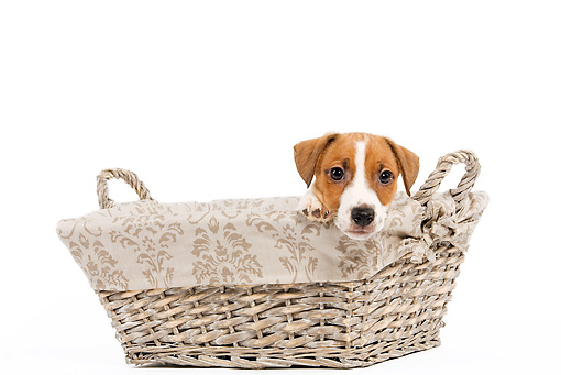 PUP 14 JE0014 01 © Kimball Stock Jack Russell Terrier Puppy Peeking Out Of Basket On White Seamless