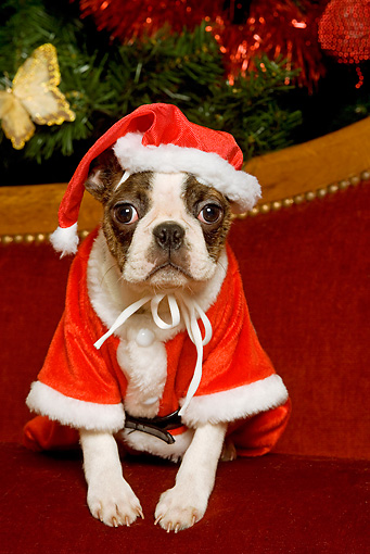 PUP 14 JE0017 01 © Kimball Stock Boston Terrier Puppy In Santa Costume Sitting By Christmas Tree