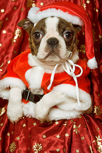 PUP 14 JE0018 01 © Kimball Stock Boston Terrier Puppy In Santa Costume Sitting On Red Blanket