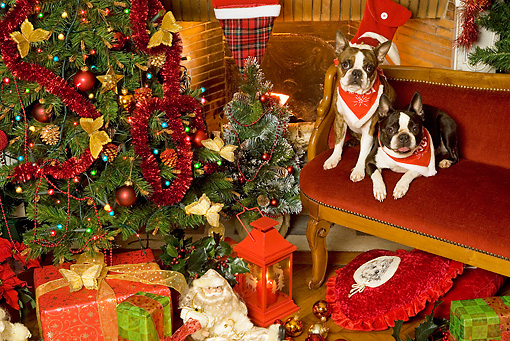 PUP 14 JE0019 01 © Kimball Stock Boston Terrier Puppies Wearing Red Bandanas Sitting On Bench By Christmas Tree