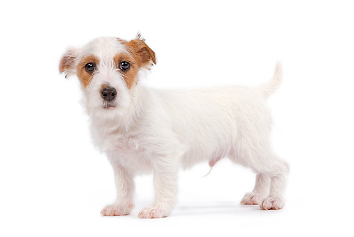 PUP 14 JE0020 01 © Kimball Stock Jack Russell Terrier Puppy Standing On White Seamless Profile