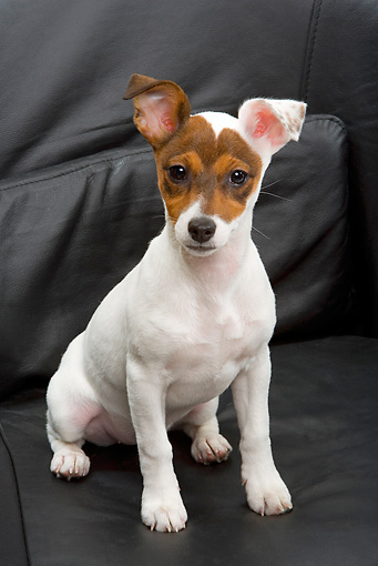 PUP 14 JE0021 01 © Kimball Stock Jack Russell Terrier Puppy Sitting On Black Leather Sofa