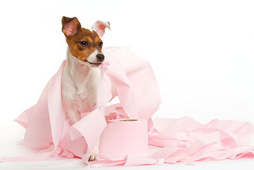 PUP 14 JE0022 01 © Kimball Stock Jack Russell Terrier Puppy Playing In Pink Tissue On White Seamless