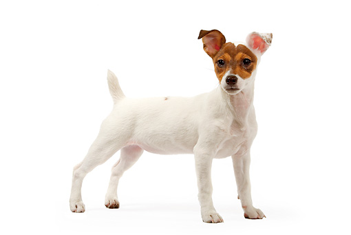 PUP 14 JE0023 01 © Kimball Stock Jack Russell Terrier Puppy Standing On White Seamless