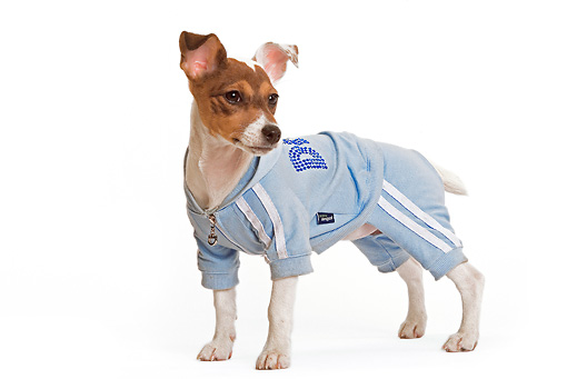 PUP 14 JE0024 01 © Kimball Stock Jack Russell Terrier Puppy Standing On White Seamless Wearing Blue Jacket And Pants