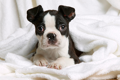 PUP 14 JE0025 01 © Kimball Stock Boston Terrier Puppy Laying In White Towels
