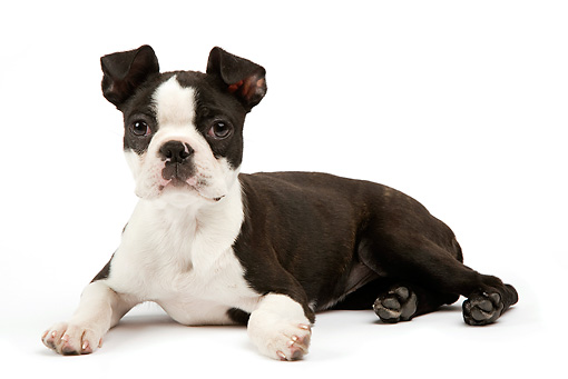 PUP 14 JE0026 01 © Kimball Stock Boston Terrier Puppy Laying On White Seamless
