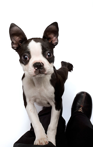 PUP 14 JE0027 01 © Kimball Stock Boston Terrier Puppy Standing On Hind Legs On White Seamless