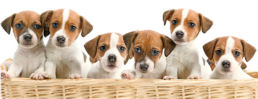 PUP 14 JE0028 01 © Kimball Stock Jack Russell Terrier Puppies Sitting In Wicker Basket On White Seamless