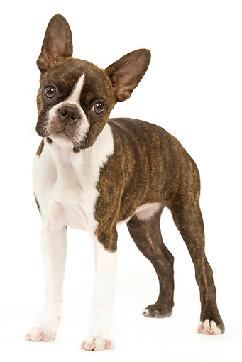 PUP 14 JE0032 01 © Kimball Stock Boston Terrier Puppy Standing On White Seamless