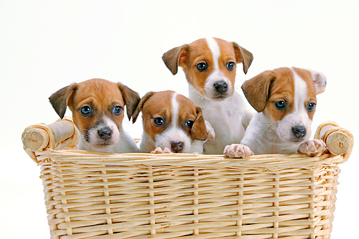 PUP 14 JE0033 01 © Kimball Stock Four Jack Russell Terrier Puppies Sitting In Wicker Basket On White Seamless