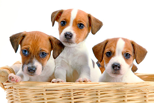 PUP 14 JE0034 01 © Kimball Stock Jack Russell Terrier Puppies Sitting In Wicker Basket On White Seamless