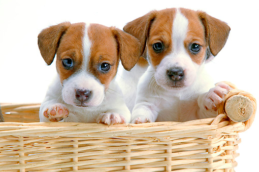 PUP 14 JE0035 01 © Kimball Stock Two Jack Russell Terrier Puppies Sitting In Wicker Basket On White Seamless