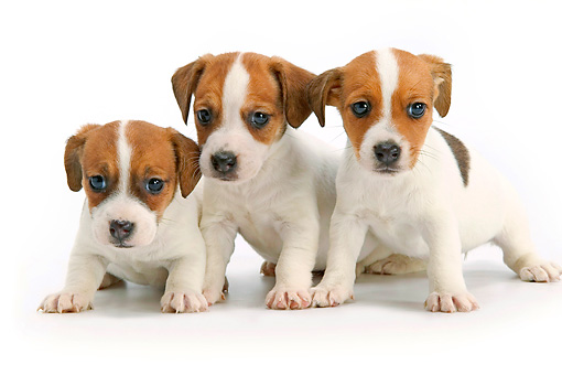 PUP 14 JE0036 01 © Kimball Stock Three Jack Russell Terrier Puppies Sitting On White Seamless