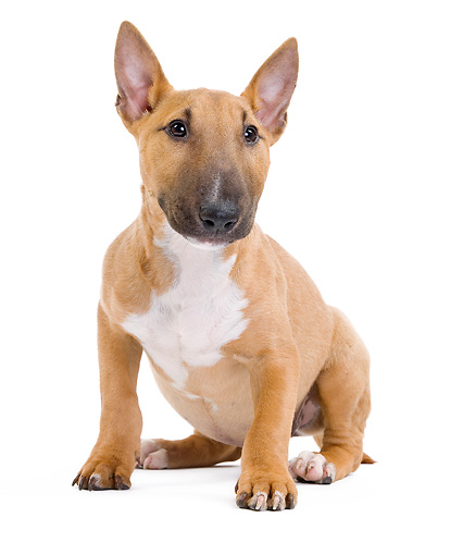 PUP 14 JE0037 01 © Kimball Stock Miniature Bull Terrier Puppy Sitting On White Seamless