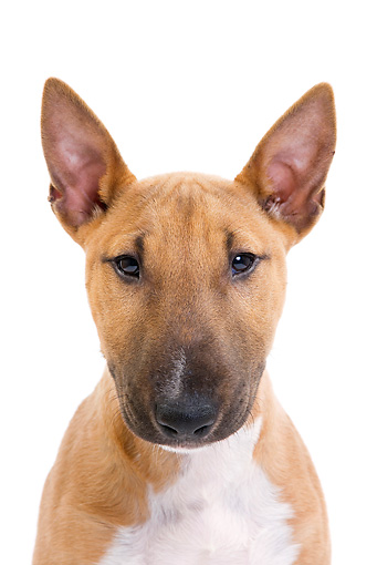 PUP 14 JE0038 01 © Kimball Stock Head Shot Of Miniature Bull Terrier Puppy On White Seamless