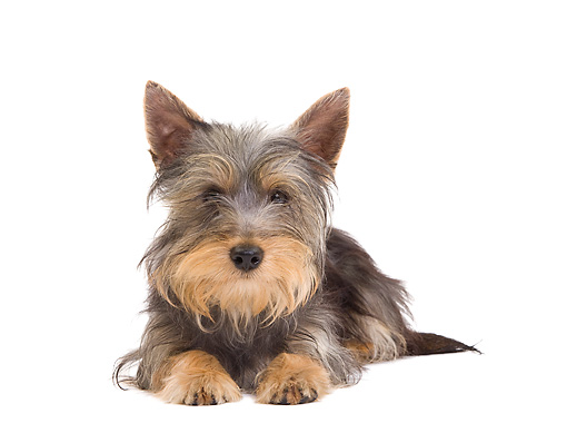 PUP 14 JE0039 01 © Kimball Stock Silky Terrier Puppy Laying On White Seamless