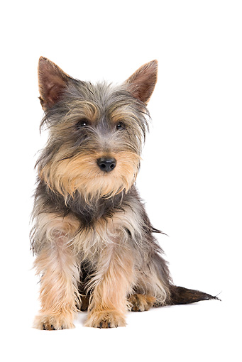 PUP 14 JE0040 01 © Kimball Stock Silky Terrier Puppy Sitting On White Seamless