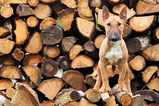 PUP 14 JE0041 01 © Kimball Stock Miniature Bull Terrier Puppy Standing On Woodpile