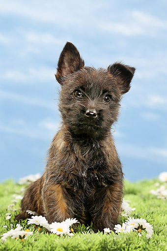 PUP 14 JE0044 01 © Kimball Stock Cairn Terrier Puppy Sitting In Grass And Daisies