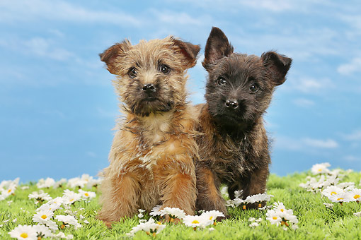PUP 14 JE0045 01 © Kimball Stock Two Cairn Terrier Puppies Sitting In Grass And Daisies