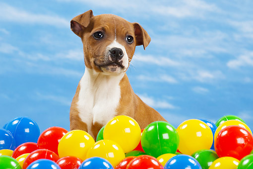PUP 14 JE0046 01 © Kimball Stock American Staffordshire Terrier Puppy Sitting In Coloful Plastic Balls