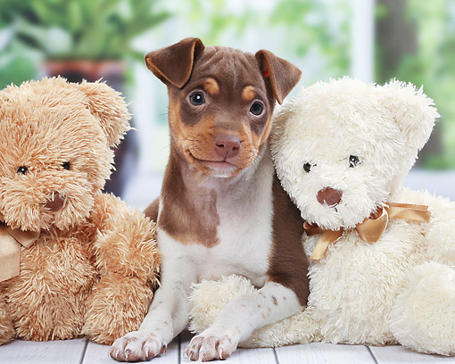 PUP 14 JE0048 01 © Kimball Stock Brazillian Terrier Puppy Sitting On Deck With Teddy Bears