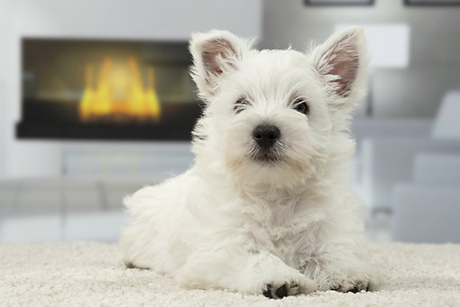 PUP 14 JE0049 01 © Kimball Stock West Highland Terrier Puppy Laying On Rug By Fireplace