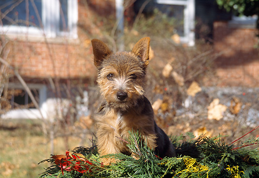 PUP 14 JN0001 01 © Kimball Stock Norwich Terrier Puppy Sitting On Pine Leaves