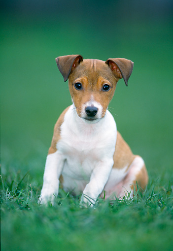 PUP 14 JS0001 01 © Kimball Stock Jack Russell Terrier Puppy Sitting On Grass
