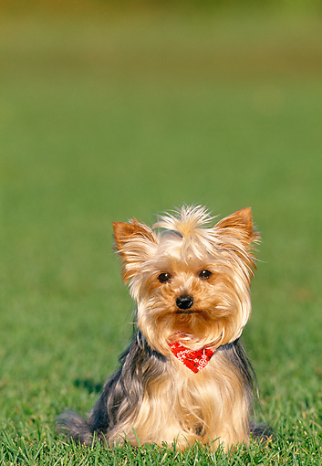 PUP 14 KH0007 01 © Kimball Stock Yorkshire Terrier Puppy Sitting In Grass Wearing Red Bandana