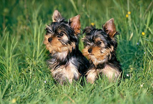 PUP 14 KH0009 01 © Kimball Stock Yorkshire Terrier Puppies Sitting On Grass