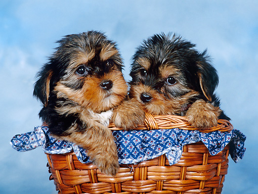 PUP 14 KH0011 01 © Kimball Stock Yorkshire Terrier Puppies Sitting In Basket In Studio