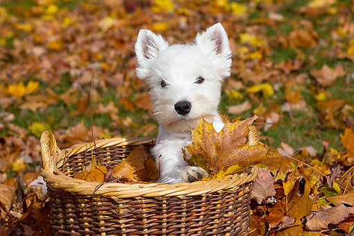 PUP 14 LS0001 01 © Kimball Stock West Highland Terrier Puppy Sitting In Basket With Autumn Leaves