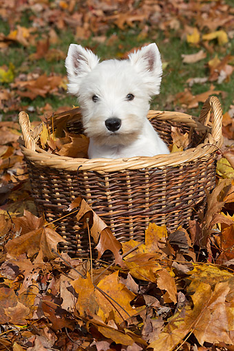 PUP 14 LS0002 01 © Kimball Stock West Highland Terrier Puppy Sitting In Basket With Autumn Leaves