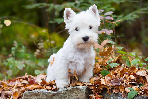 PUP 14 LS0005 01 © Kimball Stock West Highland Terrier Puppy Sitting On Autumn Leaves