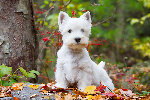 PUP 14 LS0006 01 © Kimball Stock West Highland Terrier Puppy Standing On Autumn Leaves