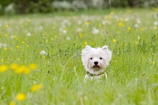 PUP 14 NR0005 01 © Kimball Stock West Highland Terrier Exploring In Grass