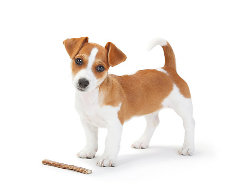 PUP 14 PE0002 01 © Kimball Stock Jack Russell Terrier Puppy Standing With Bone On White Seamless