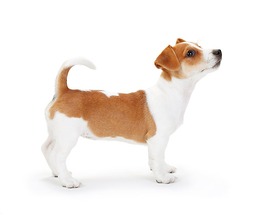 PUP 14 PE0003 01 © Kimball Stock Jack Russell Terrier Puppy Standing On White Seamless