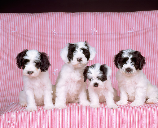 PUP 14 RK0002 01 © Kimball Stock A Group Of Ashlyn Tibetan Puppies Sitting Together On Pink Quilt Facing Camera