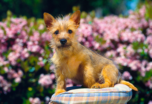 PUP 14 RK0046 02 © Kimball Stock Cairn Terrier Puppy Sitting On Pillow