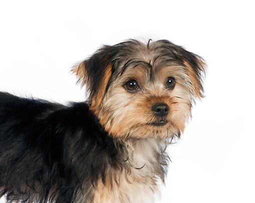 PUP 14 RK0080 01 © Kimball Stock Close-Up Of Yorkshire Terrier Puppy Standing On White Seamless