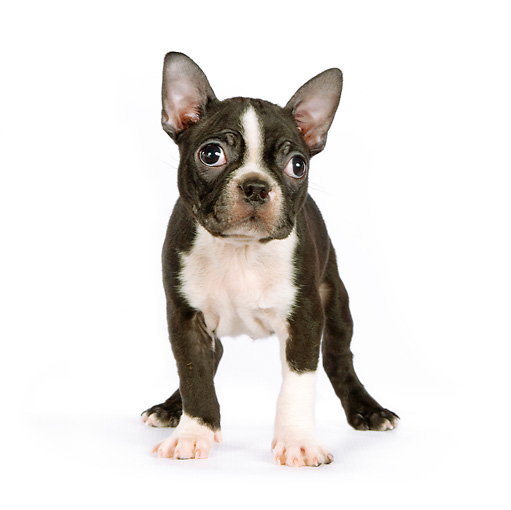 PUP 14 RK0081 01 © Kimball Stock Boston Terrier Puppy Standing On White Seamless