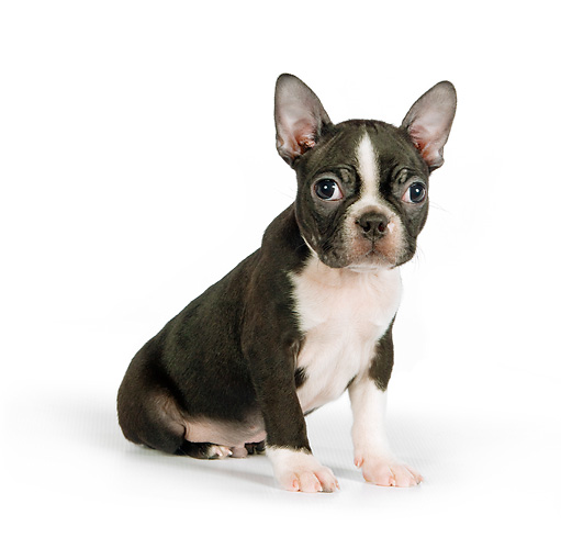 PUP 14 RK0082 01 © Kimball Stock Boston Terrier Puppy Sitting On White Seamless