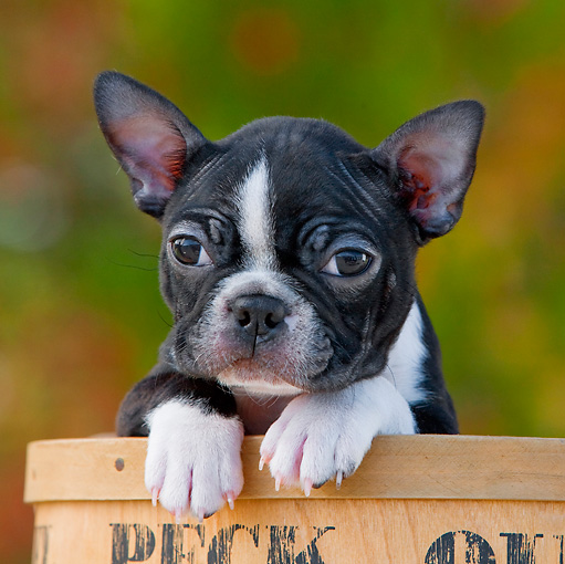 PUP 14 RK0086 01 © Kimball Stock Boston Terrier Puppy Peeking Out Of Flower Pot