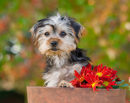 PUP 14 RK0092 01 © Kimball Stock Yorkshire Terrier Puppy Peeking Out Of Flower Pot By Flowers