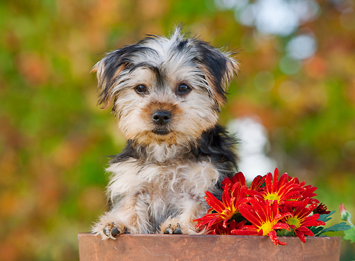 PUP 14 RK0093 01 © Kimball Stock Yorkshire Terrier Puppy Peeking Out Of Flower Pot By Flowers